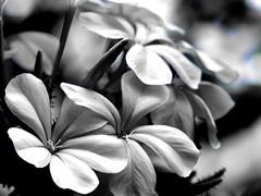 _IMP9746 La Delicadeza... (Eloycarranz21) Tags: flowers monocrome mistic