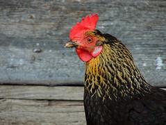 La Valle (anto_gal) Tags: altoadige sudtirol 2017 lavalle valbadiabolzano animali gallina