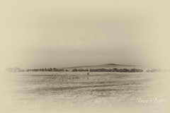 Old-style look at the Bison herd