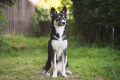 Shadow (carl.walker) Tags: husky puppy bluemerle dog pet blueeyes