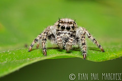 Jumping Spider (rpm pictures) Tags: 2017 animals backyard barnegat canon july jumpingspider kenko leaf macro nature newjersey nj outdoors phidippus rpm rpmphoto rpmphotography rpmpictures ryanpaulmarchese ryanpaulmarchesephotography spider summer wildlife
