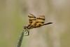Halloween Pennant (maractwin) Tags: dragonflies halloweenpennant harvard williamsland