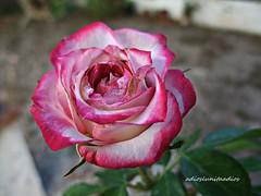 Matices  059 (adioslunitaadios) Tags: masiateulada 2017 macro fujifilm rosa plantasyflores naturaleza airelibre campo jardín