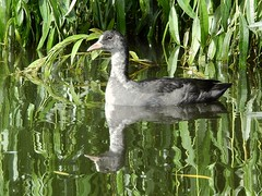 Coot (PhotoLoonie) Tags: coot waterbird nature wildlife reflection waterreflection