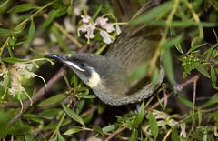 Lewin's Honeyeater (petefeats) Tags: australia birds lamingtonnationalpark lewinshoneyeater meliphagalewinii meliphagidae nature oreillys passeriformes queensland grevillea