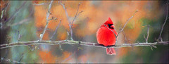 Alone (cindyz48) Tags: cardinal bird redbird paint
