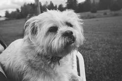 Hattie girl (ulanalee) Tags: film 35mm filmcamera olympusμmjuii mju mjuii μmjuii lomography blackandwhite monochrome dog
