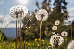 Spring Dandelions - May 2017 I (boettcher.photography) Tags: löwenzahn pusteblume dandelion spring frühling mai may nature natur flower blume blossom blüte deutschland germany sashahasha boettcherphotography