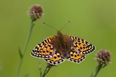 Dark Green Fritillary (Argynnis aglaja) (R.Miller1979) Tags: butterfly butterflies green orange black white lepidoptera dark fritillary argynnis aglaja lindrick common rotherham south yorkshire bokeh nature wildlife insect invertebrates invertebrate insects