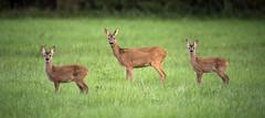 Roe Deer (Capreolus capreolus)(Explore) (Wide World Images) Tags: roedeercapreoluscapreolus roedeer wideworldimages nicholaknight nikon nikon500ff4 nikond4s deer adrianknight