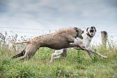 Gnashers! (Shastajak) Tags: stanley deerhoundcross threelegged tripaw lurcher bullterrier crossbreed sql pronouncedsequel greyhound sighthound gazehound dog rehomed rescued playing teefs