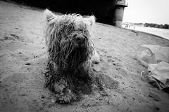 westie on the beach (Zlatko Vickovic) Tags: streetstreetphoto streetphotography streetphotographybw streetbw streetphotobw blackandwhite monochrome zlatkovickovic zlatkovickovicphotography novisad serbia vojvodina srbija westie dog beach