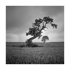 Overbaring (Nick green2012) Tags: square blackandwhite tree landscape minimal cornfield public footpath
