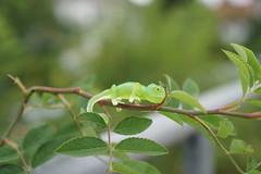 Chameleon (omgdolls) Tags: epoch capsule chinmari chameleon ちんまりカメレオン fingering 指乗りカメレオン 透明a