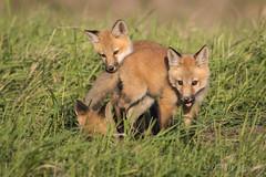 Northern Plains Red Fox - Kits (Turk Images) Tags: aspenparkland foxden northernplainsredfox vulpesfulva alberta canidae mammals redwater spring