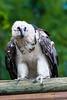 Les Aigles du Léman-51 (Diving Pete) Tags: beardedvulture birds birdsofprey frenchalps gypaetusbarbatus intobeyondphotography location vultures les aigles du léman