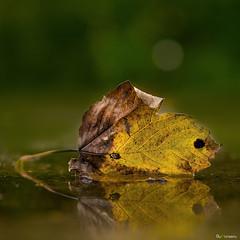 fall (ByHansen) Tags: leaf strobist water puddle fall warm yellow green