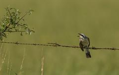 Sur le barbelé (Eric Penet) Tags: shrike animal avesnois france faune bocage campagne barbelé oiseau bird piegrièche redbacked wildlife wild nature nord juillet