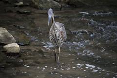 IMG_0199 (zamo86) Tags: nature decew falls niagara st catharines ontario waterfall bird crane