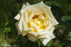 Yellow beauty. Belleza amarilla (A. Muiña) Tags: rosa flowers yellow flor airelibre freshair color naturaleza nature jardín garden process retoque picture bokeh desenfoque photography abstracto abastract nikon nikond90 macro macrofotografía
