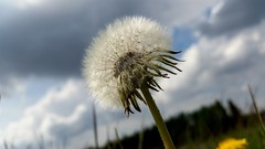 Weed or Wish? #dandelion #Wish #plants (jacklee43) Tags: wish dandelion plants