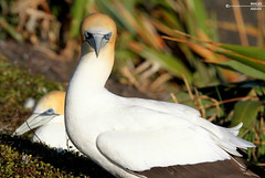 What's up ?? (Ahsan.(off)) Tags: bird gannet yellow white curious muriwai auckland nz amazing canon tamron 150600