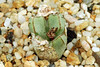 26 juillet 2017 - Conophytum turrigerum (large form ex. Japan) (Mafate79) Tags: 2017 conophytumturrigerum aizoaceae aizoacées aizoacée mesemb mesembryanthemaceae mesembryanthemacées mesembryanthemacée sectionminuscula plante