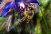 Honey Bee (betadecay2000) Tags: bee honeybee honey biene bienen honigbienen insekten insect insects insekt tier tiere animal animals germany german deutschland deutsch fluginsekt darfeld nrw fliegen münsterland rosendahl rosendahldarfeld