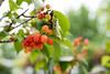 SYS_3433 (Daegeon Shin) Tags: nikon d750 prunustomentosa nikkor 55mmf28 fruit fruta dof bokeh 니콘 니콘렌즈 열매 과실 심도 보케 빛망울 자연 nature