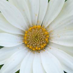Polline             🇱🇷 Pollen (lucamarasca1) Tags: perfections nature whiteflowers flowers flower sfondo background yellow white pollen polline closeup macro petali petals