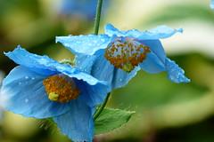 (evisdotter) Tags: blåbergvallmo himalayanbluepoppy meconopsisbetonicifolia flowers blommor raindrops regndroppar macro bokeh sooc