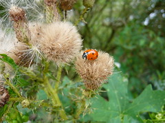 P1280246 (jeanchristophelenglet) Tags: fleur flower flor insecte insect inseto coccinelle ladybug joaninha