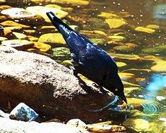 thirsty crow (Leonard J Matthews) Tags: thirsty crow quenches thirst water pond mtcootha botanicalgardens queensland australia mythoto bird creation drink environment nature ripple