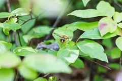 News Bee in Pisgah (joehoeper) Tags: avl westernnorthcarolina nationalforest appalachianmountains pisgahnationalforest brevard northcarolina 828 naturephotography blueridgemountains blueridgeparkway