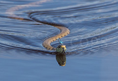 Grass snake with damselfly on head (cogs2011) Tags: canon sigma 150600c snake grasssnake reptile wow great damselfly water blue countryside summer
