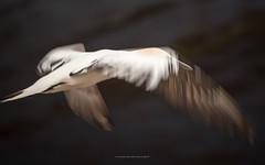 behind the wing (ciwi.photography) Tags: gannets bastölpel tölpel basstölpel gannet hegloland breeding spring frühling flying nest colony watt tide motion flight wings bird vogel northern