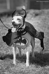 Batdog! Jerry Green's Dog Rescue Summer Show 2017 - North Lincolnshire (SteveH1972) Tags: blackandwhite monochrome bw dog dogs pet pets animal animals cute cuteness adorable canon7d canon 7d canon70200 nonis dogshow northlincolnshire lincolnshire england uk britain northernengland 2017 spiderdog fancydress dogcostume batdog batman outside outdoors outdoor