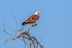 Brahminy Kite (arthurpolly) Tags: avian avianexcellence abigfave birds beautiful bird canon brahminykite 100400is 7dmk2 eos elements13 exotic flickrdiamond impressedbeauty nature natureselegantshots naturesfinest nationpark photoshop unforgettablepictures srilanka yala wildlife wild