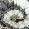 spiral (overthemoon) Tags: macromondays texture hairy lumpy spiral variegated escargot snail begonia tropical green white pink schilligergardencentre square leaf feuille explore 14 bsquare surfacedetail
