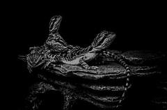 Bearded Dragons (Cruzin Canines Photography) Tags: animals bakersfield animal monochrom closeup bearded dragon domestic california blackandwhite reptile iphone pets iphone6plus