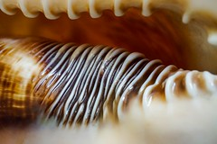 The seashell's ripples (M. Carpentier) Tags: shells macromondays textures coquillages cassisroi brun brown kinghelmet cassietuberosa nacre memberschoicetexture