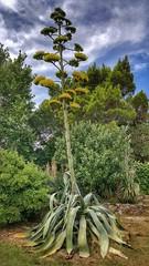 Agave flowering (Ales Kladnik) Tags: agave flowering flowers huge onceinalifetime summer plant plants large sky