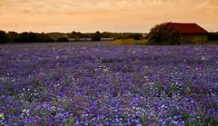 Colour Burst. (fjnige) Tags: field flowers blooms nikon d7100 sigma lee