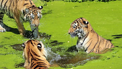 siberian tiger duisburg BB2A0251 (j.a.kok) Tags: tijger tiger siberischetijger siberiantiger siberie pantheratigrisaltaica duisburg animal asia azie kat cat zoogdier dier