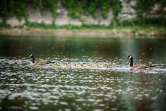 Rollin' Down the River (flashfix) Tags: june172017 2017inphotos ottawa ontario canada canon canoneos5dmarkii 5dmarkii bokeh nature mothernature 100mm400mm fowl gosling goose geese goslings birdphotography animal water river rideauriver family