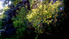 Backyard trees - TMT (Maenette1) Tags: trees leaves green sunshine backyard menominee uppermichigan treemendoustuesday flicker365