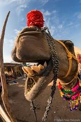 My Teeth (Rajneesh Panwar) Tags: pushkar camel tour workshop lightchaser teeth dentist rajasthan india portrait