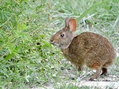 Marsh Rabbit at Black Point Drive (wayne kennedy EDD) Tags: rabbit
