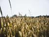 Feld #2 (Herr Klimmeck) Tags: norden norddeich feld weizen sonne sommer korn wiese felder weizenfeld weizenfelder