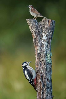Great Spotted Woodpecker (Dendrocopus Major) and a sparrow